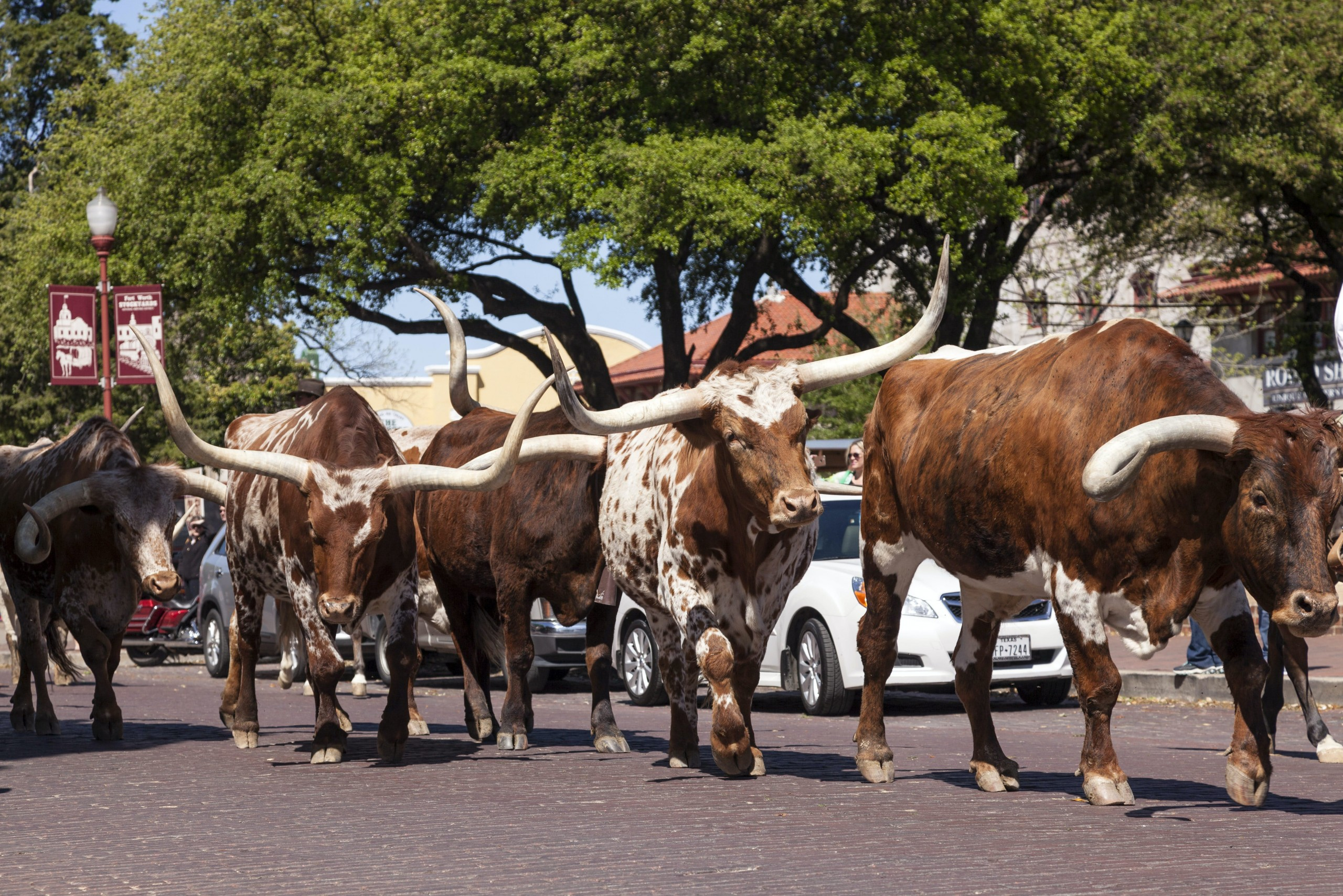 Cattle on the street of Forth Worth Stockyards